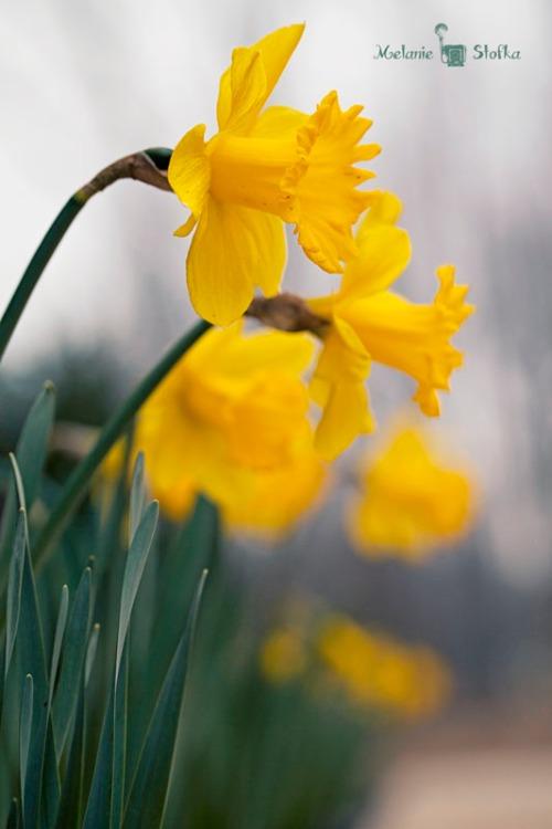 Spring = Daffodils
