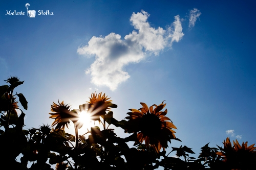 Himawari Matsuri (Sunflower Festival)